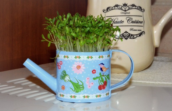 cress sprouting