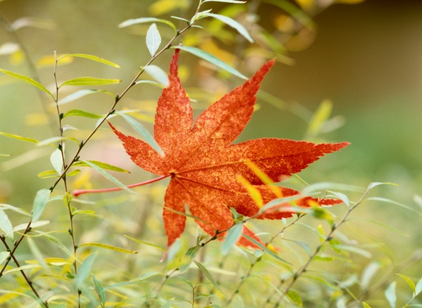 First-autumn-leaf