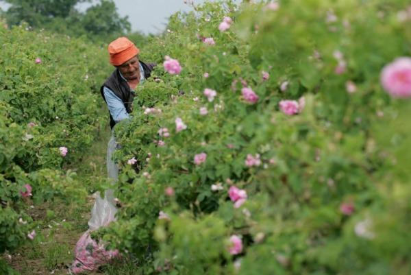 Сбор бутонов розы в Болгарии