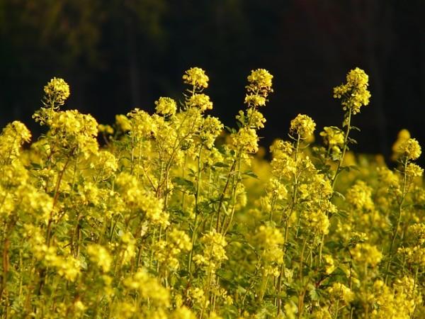 Brassica Campestris (Rapeseed) Sterols