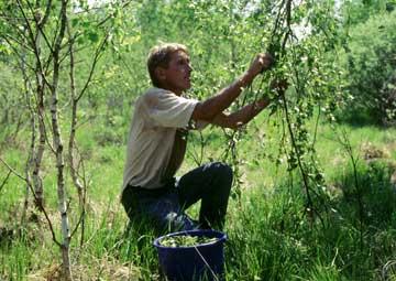 экстракт березовых листьев масло Weleda