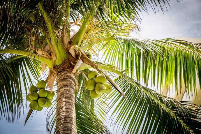 замена сахара - кокосовый сахар