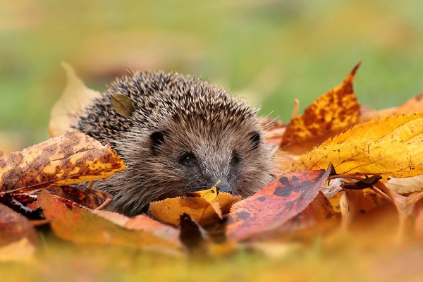 Autumn Hedgehog 1