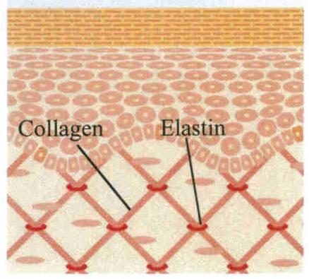 collagen_elastin
